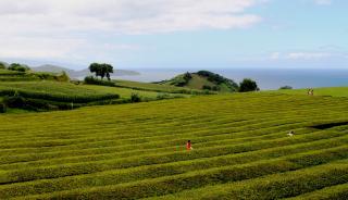 033 - Sao Miguel - plantation thé