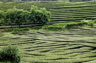 043 - Sao Miguel - plantation thé