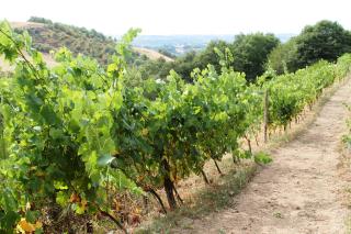 Mine de vin vignes 3