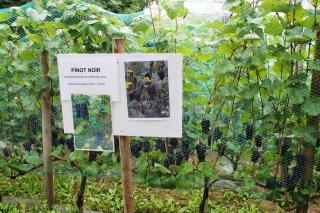 Butte bergeyre vignes pinot noir 1